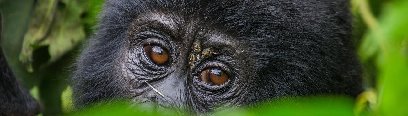 Volcanoes Gorilla Safaris