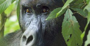 Gorilla Safarisn in Rwanda