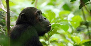 Rwanda Chimpanzee Safaris