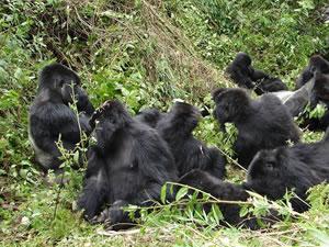 Gorilla Trek in Volcanoes