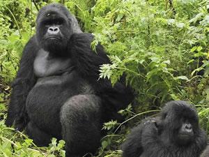 Gorilla Trek in Virunga