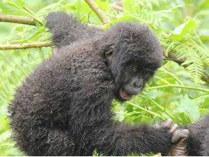 Virunga Gorilla Trek