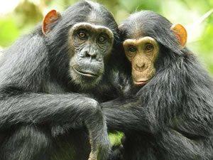 Chimpanzee Tracking in Kibale