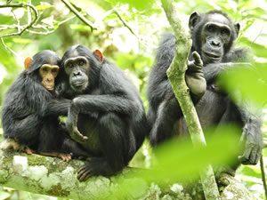 Chimpanzee Tracking in Virunga