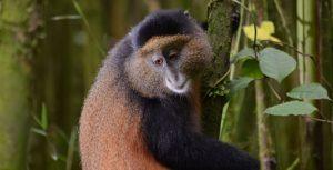 Golden Monkeys in Volcanoes