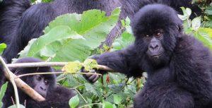 Mountain Gorillas in Volcanoes